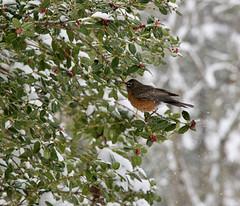 Robin 1 Feb 20 21