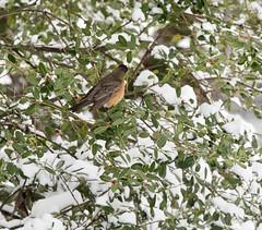 Robin 3 Feb 20 21