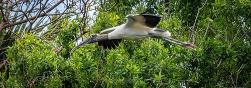 Wood Stork Delivering Home Goods.