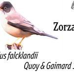 Zorzal – Turdus falcklandii Quoy & Gaimard 1824
