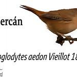 Chercán – Troglodytes aedon Vieillot 1809