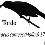 Tordo – Curaeus curaeus (Molina) 1782