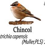 Chincol – Zonotrichia capensis (Muller,PLS) 1776
