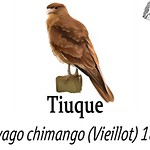 Tiuque – Milvago chimango (Vieillot) 1816