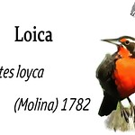 Loica – Leistes loyca (Molina) 1782
