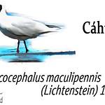 Cáhuil – Chroicocephalus maculipennis (Lichtenstein) 1823