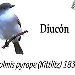 Diucón – Xolmis pyrope (Kittlitz) 1830