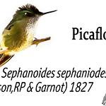 Picaflor – Sephanoides sephaniodes (Lesson,RP & Garnot) 1827