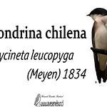 Golondrina chilena – Tachycineta leucopyga (Meyen) 1834