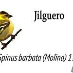 Jilguero – Spinus barbata (Molina) 1782