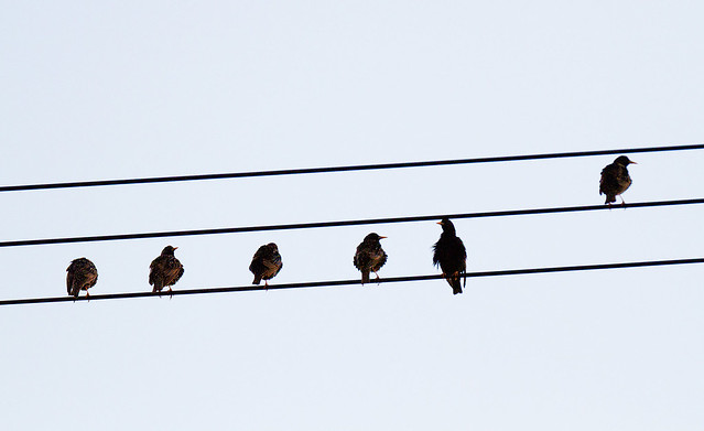 Kuldnokkade loojangupaistesonaat / The common starlings enjoy the sunset