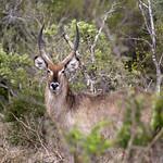 9043_Kruger Waterbuck Antelope