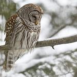 Barrel owl