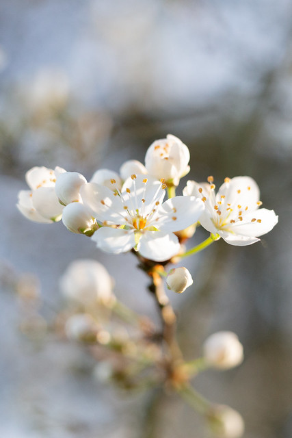 Early Blackthorn blossom, aka sloe blossom