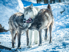 Montana Wolves Grey Wolf Fuji GFX100 Montana Winter Fine Art Landscape Wildlife Photography! Elliot McGucken Fine Art American West Photos! Master Medium Format! Fujifilm GFX 100 & Fujinon FUJIFILM GF 250mm f/4 R LM OIS WR Lens & GF 1.4X TC WR = 350mm!