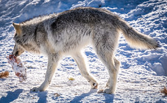 Montana Grizzly Bears Fuji GFX100 Montana Winter Fine Art Landscape Wildlife Photography! Elliot McGucken Fine Art American West Photography! Master Medium Format! Fujifilm GFX 100 & Fujinon FUJIFILM GF 250mm f/4 R LM OIS WR Lens & GF 1.4X TC WR = 350mm!