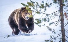 Montana Grizzly Bears Fuji GFX100 Montana Winter Fine Art Landscape Wildlife Photography! Elliot McGucken Fine Art American West! Medium Format Grizzly Bear! Fujifilm GFX 100 & Fujinon FUJIFILM GF 250mm f/4 R LM OIS WR Lens & GF 1.4X TC WR = 350mm!