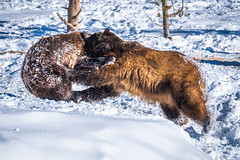 Two Grizzly Bears Play Fighting! Montana Grizzly Bears Fuji GFX100 Montana Winter Fine Art Landscape Wildlife Photography! McGucken Medium Format Grizzly Bear! Fujifilm GFX 100 & Fujinon FUJIFILM GF 250mm f/4 R LM OIS WR Lens & GF 1.4X TC WR = 350mm!