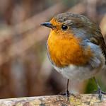 Robin Portrait