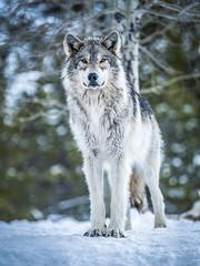 Yellowstone National Park Alpha She Wolf Wildlife Elliot McGucken Fine Art Nature Photography! Fujifilm GFX 100 & Fujinon FUJIFILM GF Lens