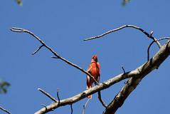 Cardinal tummy