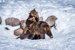 Grizzly Bears Play Fighting Wrestling! Montana Grizzly Bears Sony A7R4 Montana Winter Fine Art Landscape Wildlife Photography! Elliot McGucken Fine Art American West Photography! Master Grizzly Bear Art! Sony A7R 4 & Sony FE 200-600mm f/5.6-6.3 G OSS Lens