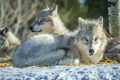 Montana Winter Wolves Sony A7R4 Montana Winter Fine Art Landscape Wildlife Grey Wolf Photography! Elliot McGucken Fine Art American West Photography! Master Grey Wolves Wolfpack Fine Art! Sony A7R 4 & Sony Gmaster Lens