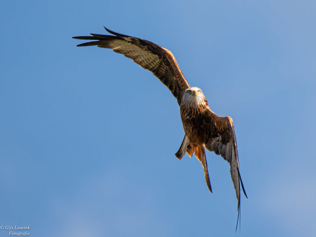 Rode-Wouw Red-kite