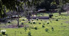 Daffodil Yard