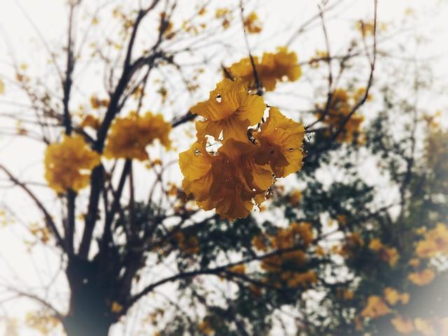 Yellow Pui