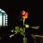 Breakfast Rose  (Retina IIIC / Porta 400)