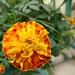 #marigold #マリーゴールド #萬壽菊