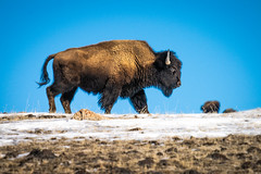 Yellowstone National Park Winter Wildlife Sony A7R4 Montana Fine Art Landscape Nature Wildlife Photography! Elliot McGucken Fine Art American West Photography! Sony A7R 4 & Sony FE 200-600mm f/5.6-6.3 G OSS Lens