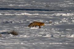 Red Fox Yellowstone National Park Winter Wildlife Sony A7R4 Montana Fine Art Landscape Nature Wildlife Photography! Elliot McGucken Fine Art American West Photography! Sony A7R 4 & Sony FE 200-600mm f/5.6-6.3 G OSS Lens 2x Teleconverter Lens SEL20TC