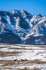 Elk & Deer Yellowstone National Park Winter Wildlife Sony A7R4 Montana Fine Art Landscape Nature Wildlife Photography! Elliot McGucken Fine Art American West Photography! Sony A7R 4 & Sony FE 200-600mm f/5.6-6.3 G OSS Lens