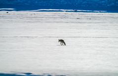 Lone Coyote! Yellowstone National Park Winter Wildlife Sony A7R4 Montana Fine Art Landscape Nature Wildlife Photography! Elliot McGucken Fine Art American West Photography! Sony A7R 4 & Sony FE 200-600mm f/5.6-6.3 G OSS Lens