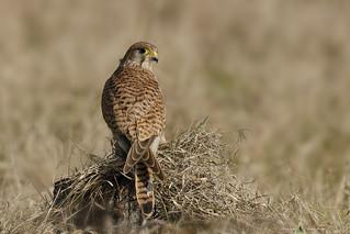 Gheppio comune - Falco tinnunculus