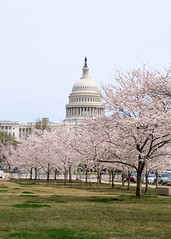 US Capitol & Cherry Blossoms