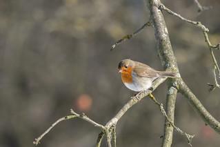 Robin in Winter Sun