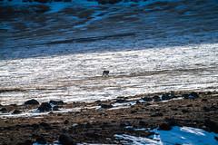 Yellowstone National Park Winter Wildlife Elk, Deer, Wolves, & Bison Sony A7R4 Montana Fine Art Landscape Nature Wildlife Photography! Elliot McGucken ! Sony A7R 4 & Sony FE 200-600mm f/5.6-6.3 G OSS Lens 1.4x Teleconverter Lens SEL14TC