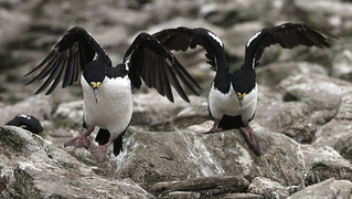 Imperial Cormorants Jumping from One Rock to Another at The Neck, Saunders Island - Falklands 104