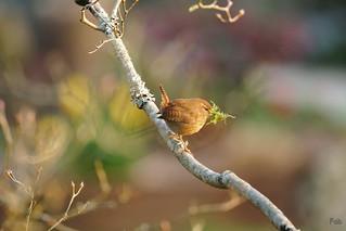 Le troglodyte mignon prépare son nid
