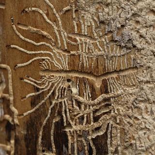 "bug-art ( ""Ips typographus"" )"