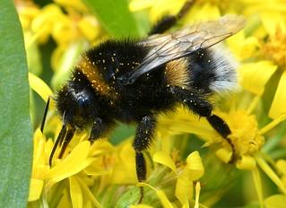 Mörk Jordhumla - Buff Tailed Bumblebee (Bombus terrestris) hane
