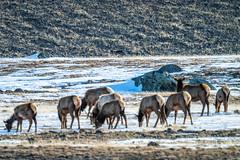 Wolves Hunting Elk: Yellowstone National Park Winter Wildlife Sony A7R4 Montana Fine Art Landscape Nature Wildlife Photography! Elliot McGucken Fine Art American West! Sony A7R 4 & Sony FE 200-600mm f/5.6-6.3 G OSS Lens 1.4x Teleconverter Lens SEL14TC
