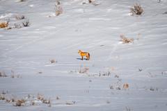 Red Fox Yellowstone National Park Winter Wildlife Sony A7R4 Montana Fine Art Landscape Nature Wildlife Photography! Elliot McGucken Fine Art American West Photography! Sony A7R 4 & Sony FE 200-600mm f/5.6-6.3 G OSS Lens 1.4x Teleconverter Lens SEL14TC