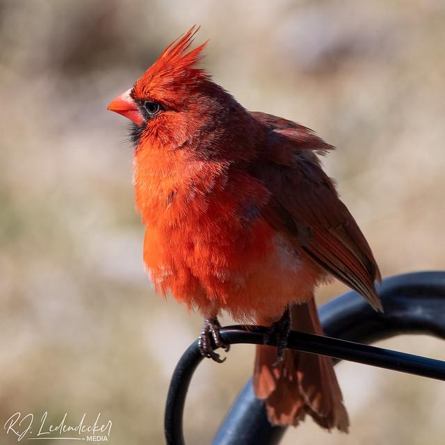 Male Cardinal on lawnmower