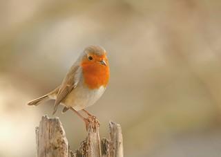 Little Robin 💕