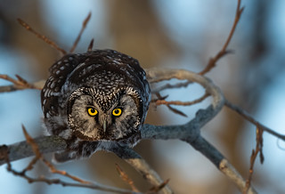 Nyctale de Tengmalm  Boreal Owl - Aegolius funereus