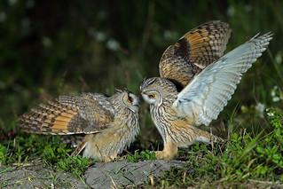 長耳鴞 Long-eared Owl